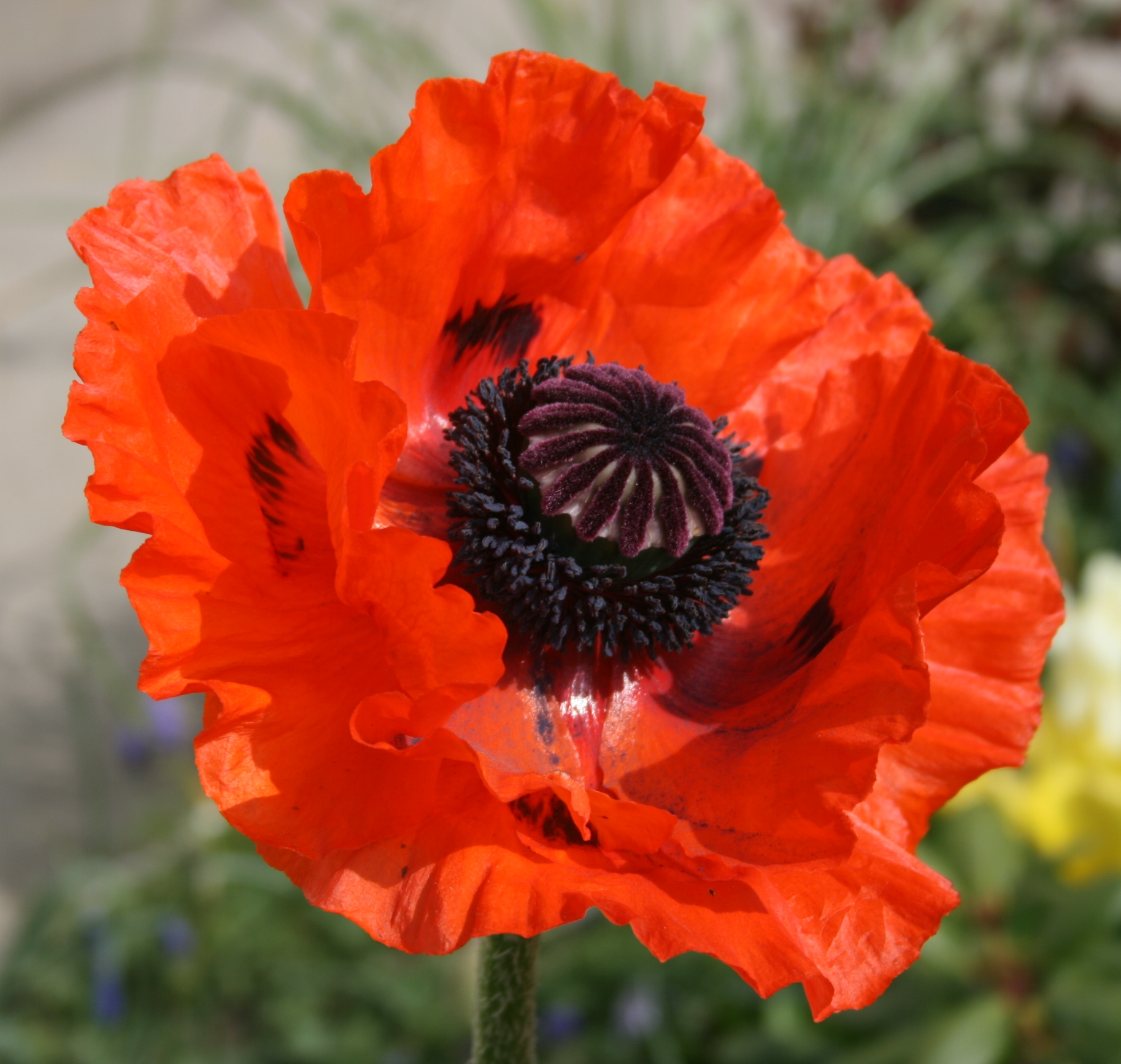 Poppy seed from france berrima district historical family poppy seed from villers bretonneux france mightylinksfo